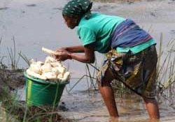 GMO Cassava