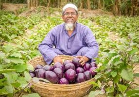 Shahajahan Ali with Bt brinjal harvested from his field.
